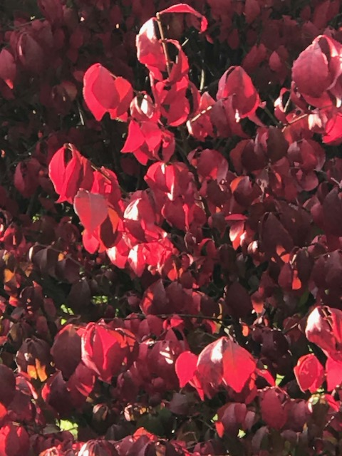 Burning bush close up