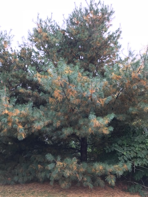 White pine needle loss