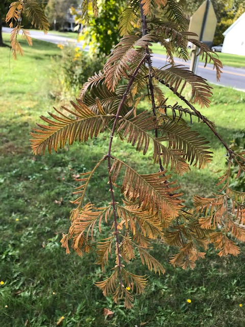 dawn redwood fall color