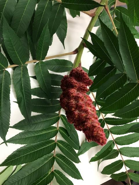 sumac fruit