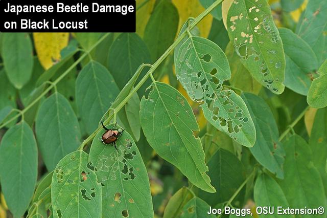 Japanese Beetle Damage