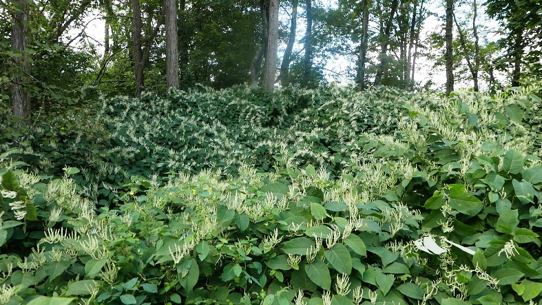Large patch of Japanese knotweed