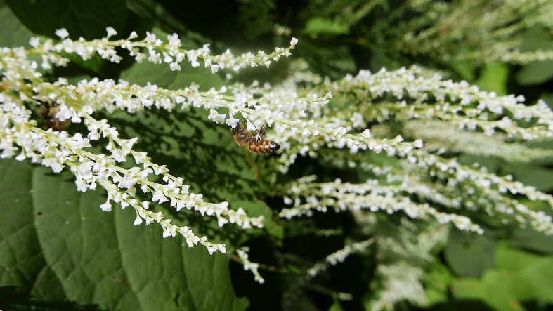 Japanese knotweed and pollinator