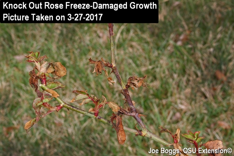 Knock Out Rose Freeze-Damaged Growth