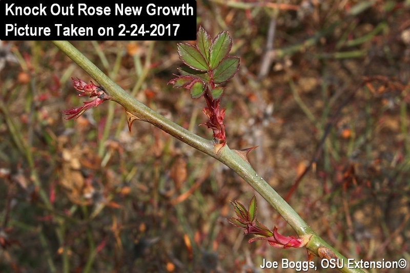 Knock Out Rose February Growth