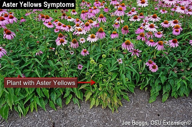 Aster Yellows