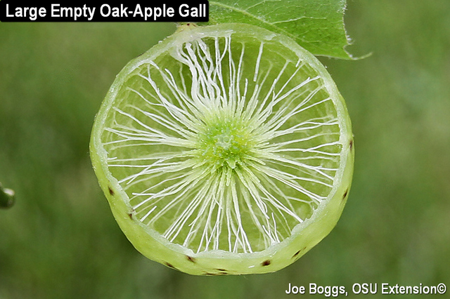 Oak-Apple Gall