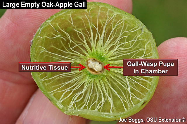Large Empty Oak-Apple Gall
