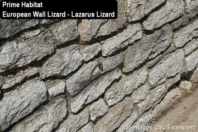 Lazarus Lizard