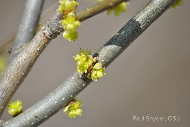 Lindera benzoin flowers