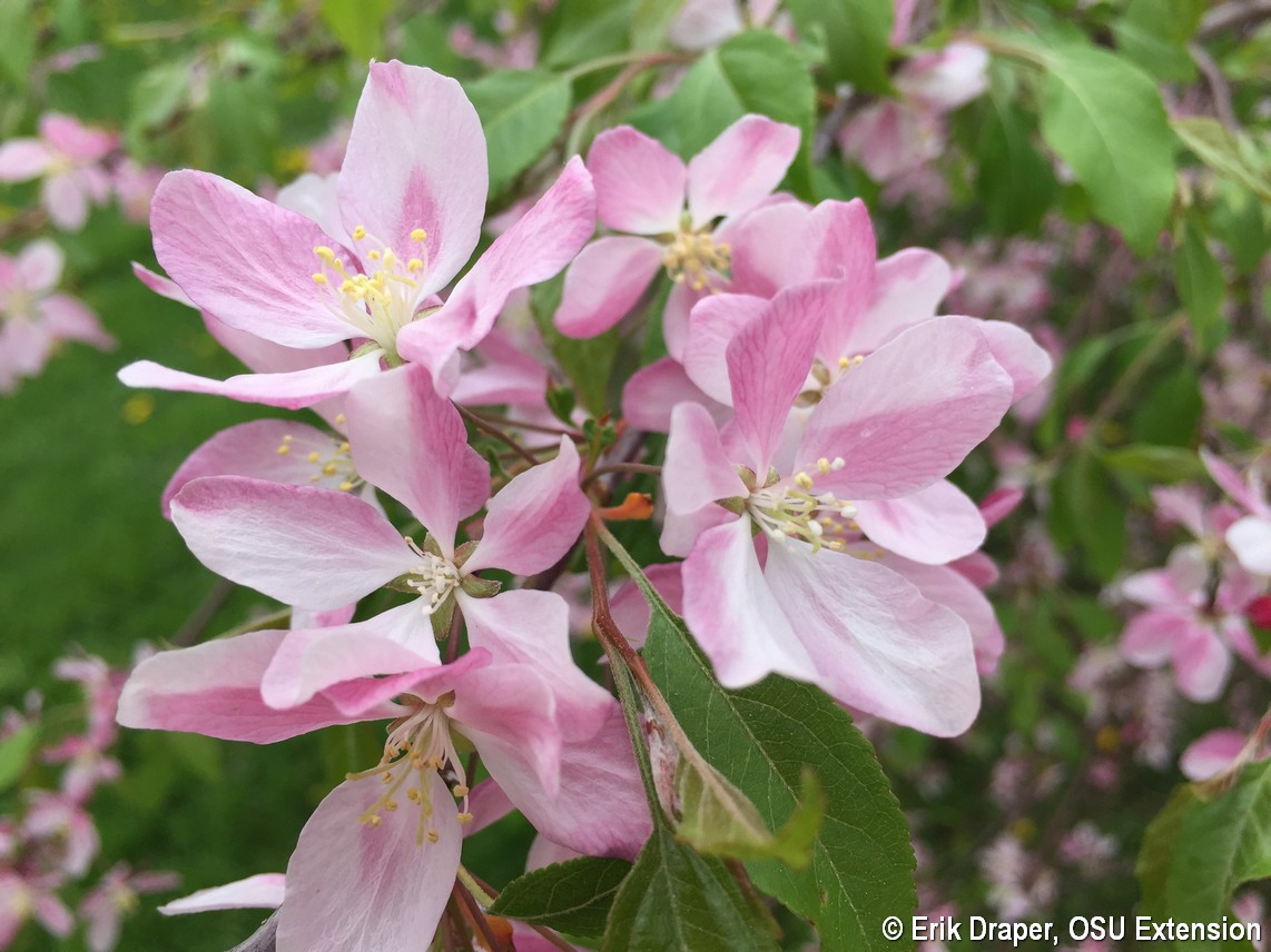'Louisa' crabapple bloom