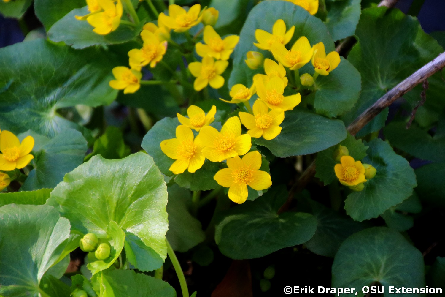 Beautiful blooms of Marsh Marigold