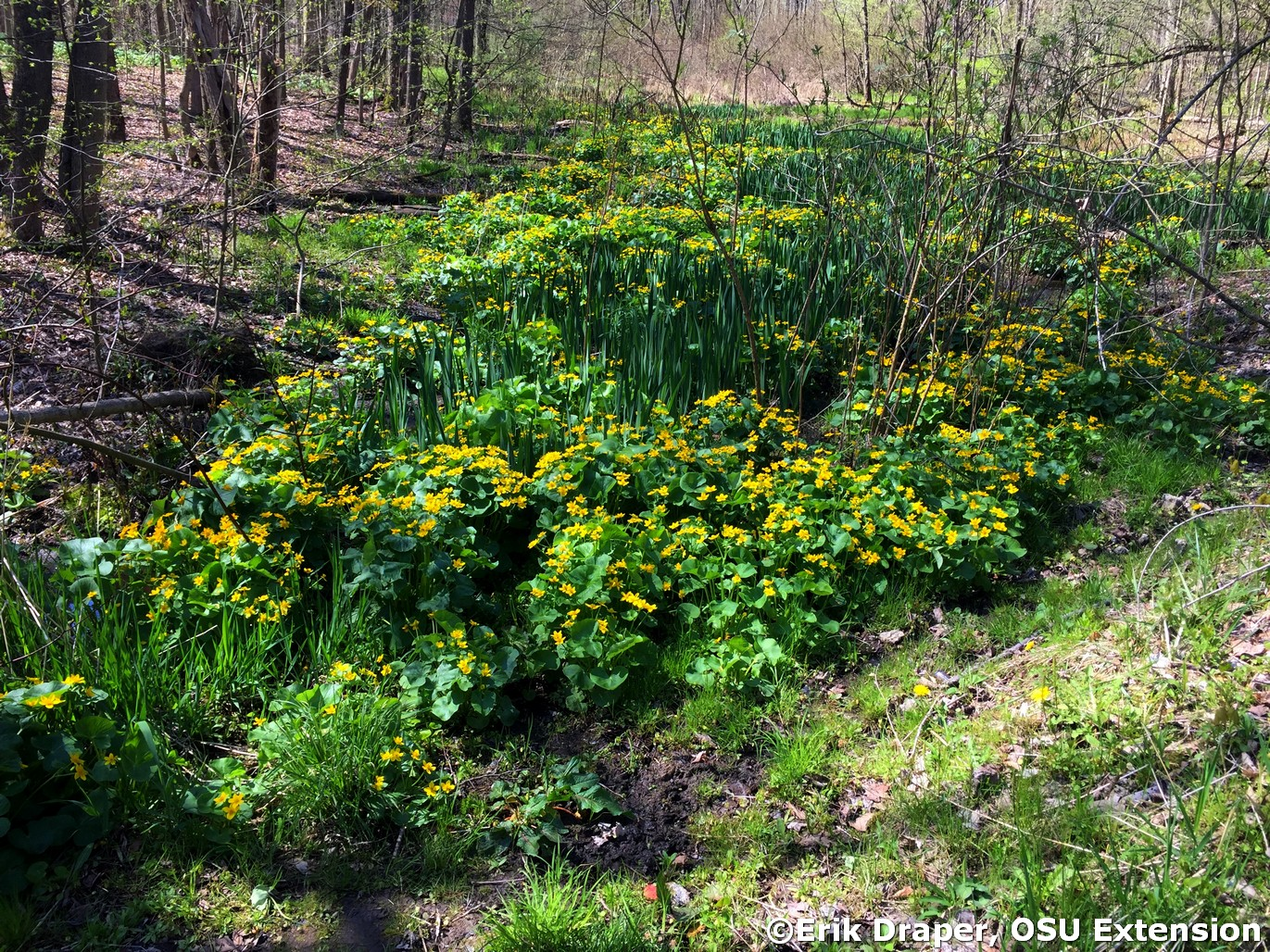 Marsh Marigold area