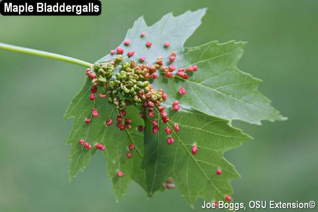 Maple Bladdergalls