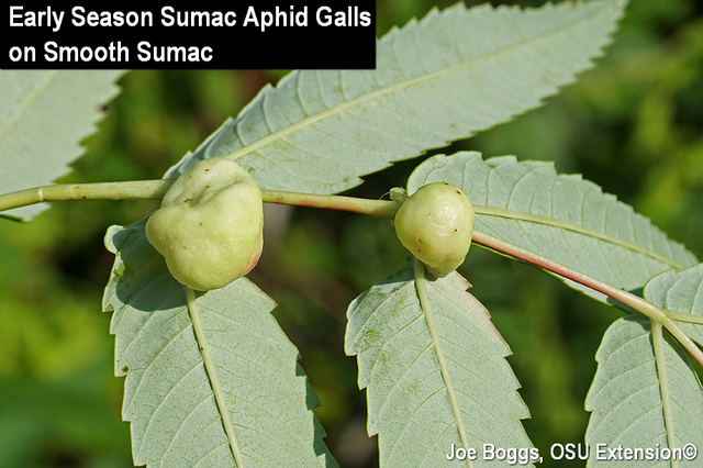 Sumac Aphid Gall