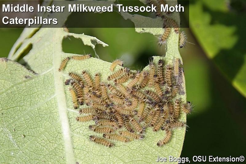 I Speak for the Milkweed Tussock Moth! | BYGL