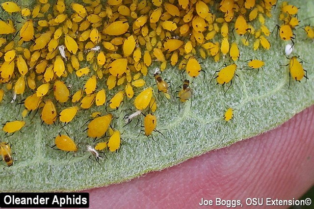 Oleander Aphids