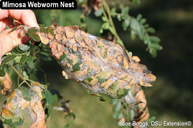 Mimosa webworm