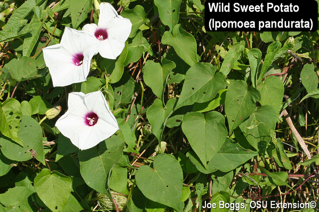 Wild Sweet Potato