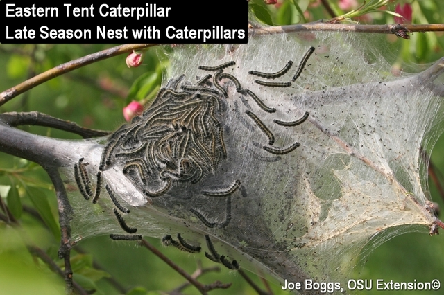 ETC Late Season Nest & Eastern Tent Caterpillar Update | BYGL