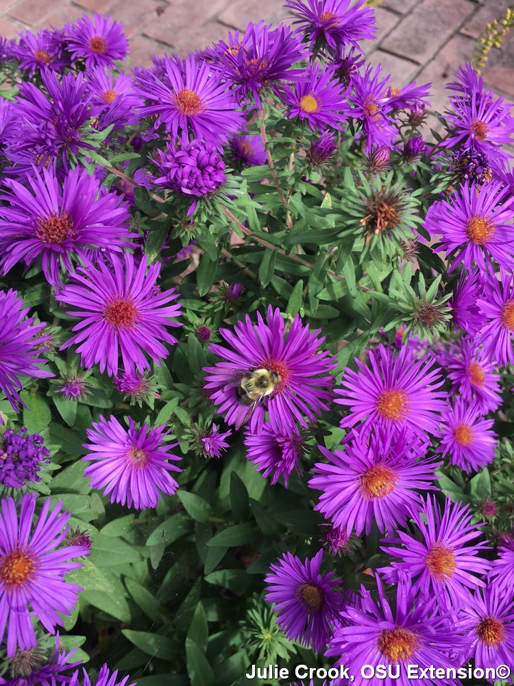 New England aster with a bee