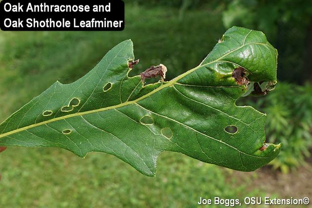 Oak Anthracnose - Oak Shothole Leafminer
