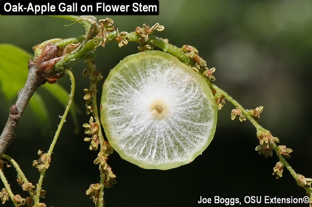 Galls - Oak Apple