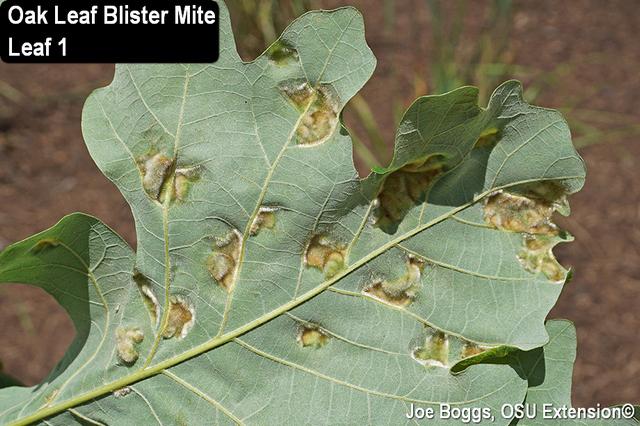 Oak Leaf Blister Mite