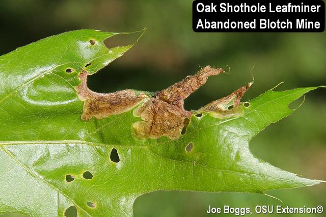 Oak Shothole Leafminer