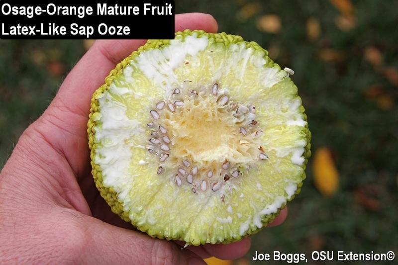 Tree Of The Week Osage Orange Maclura Pomifera Family