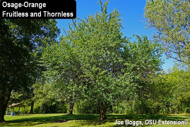 Osage-Orange