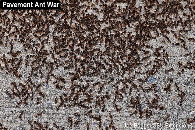 Pavement Ants
