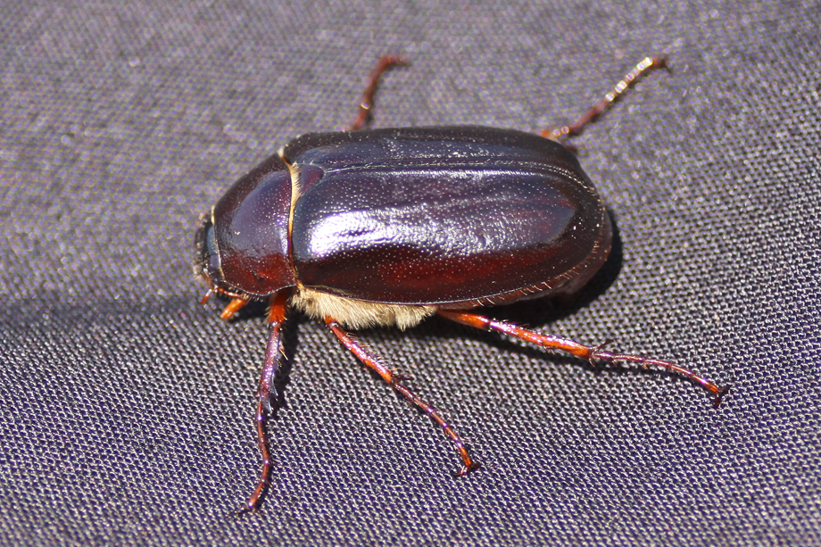Phyllophaga sp. May-June Beetle