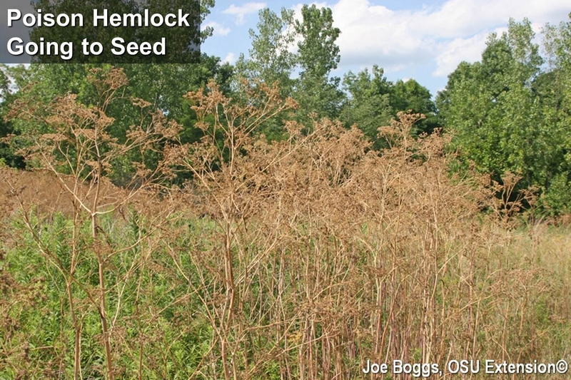 Poison Hemlock Going to Seed