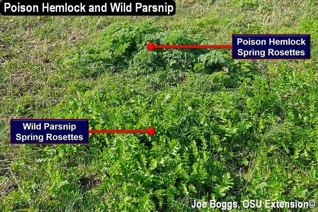 Poison Hemlock and Wild Parsnip