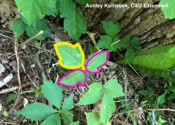 poison ivy outlining the leaf shape