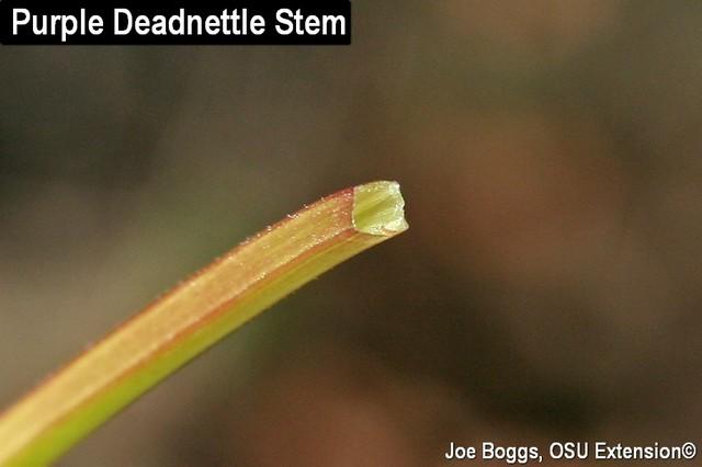 Purple Deadnettle - Stem Closeup