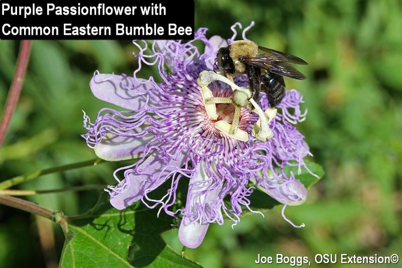 Perrenial of the week purple passionflower passiflora incarnata purple passionflower with bumble bee mightylinksfo