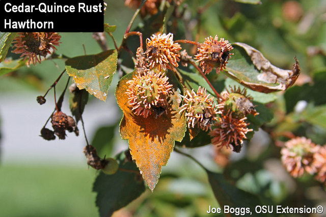 Image result for quince cedar rust