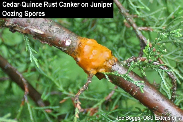 Cedar-Quince Rust on Juniper Oozing Spores