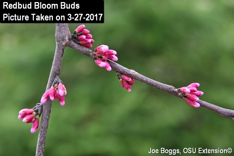 Redbud Bloom Buds