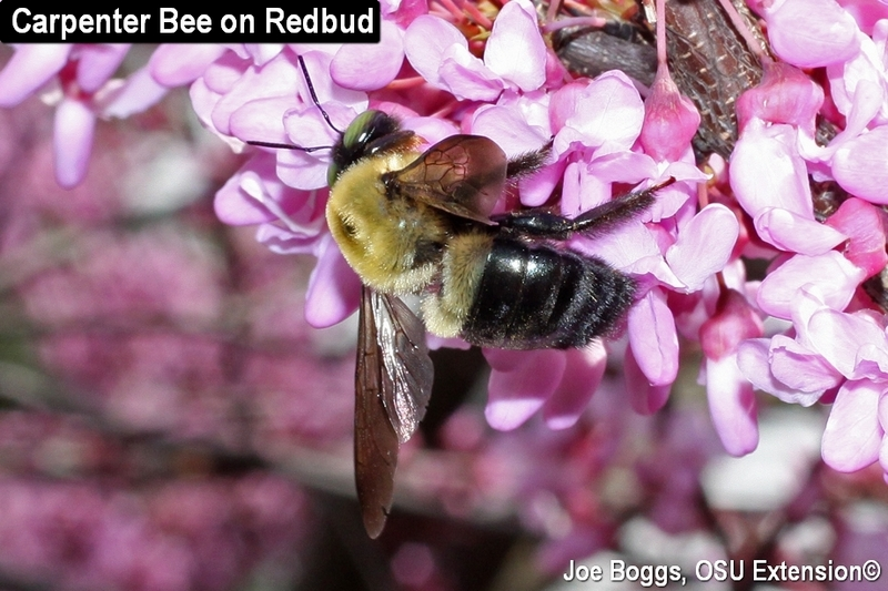 Carpenter Bee on Redbu