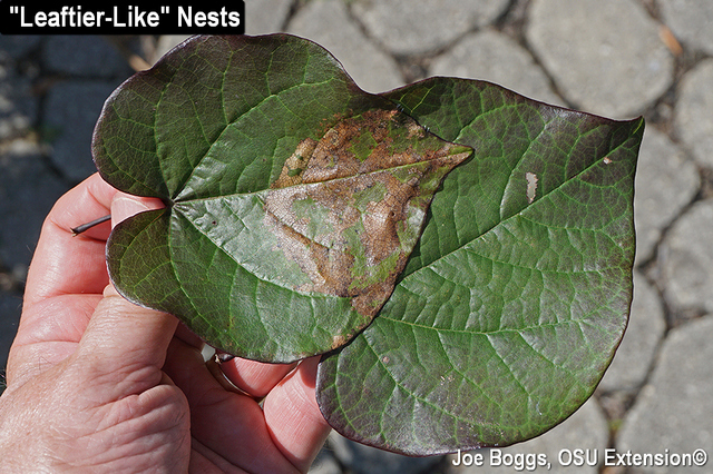 Redbud Leaffolder
