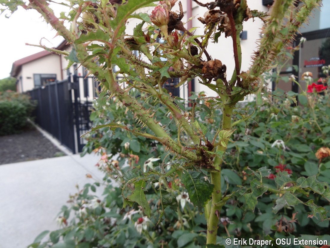 Proliferation of thorns on rose infected by Rose Rosette Virus
