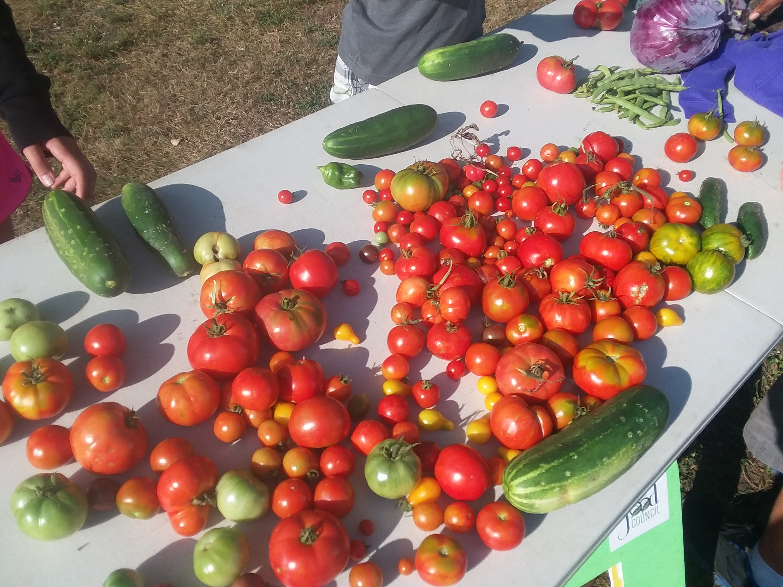 Tomato Harvest at Sylvania Area Family Services