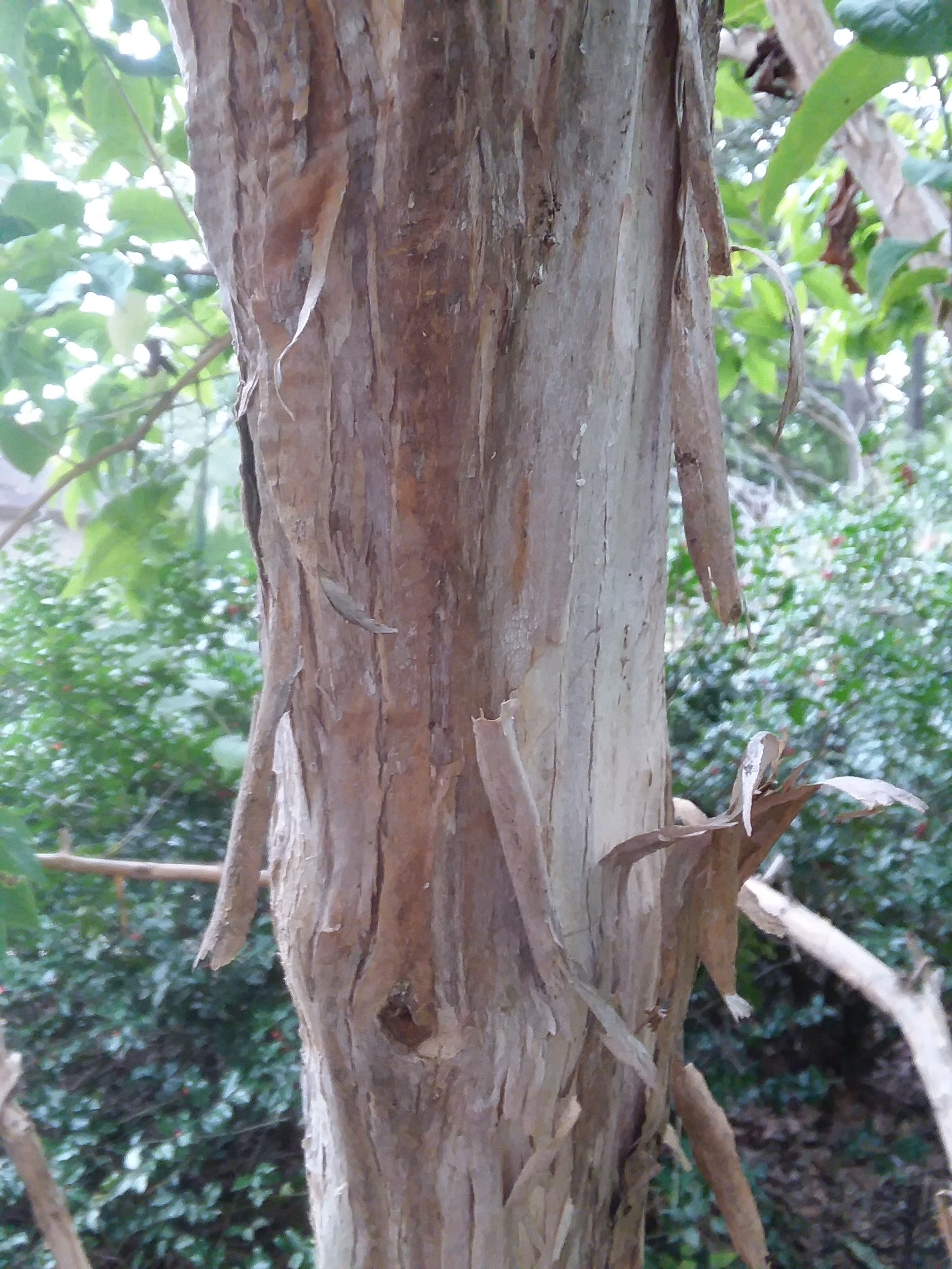 Seven-Sons Flower Trunk with Exfoliating Bark
