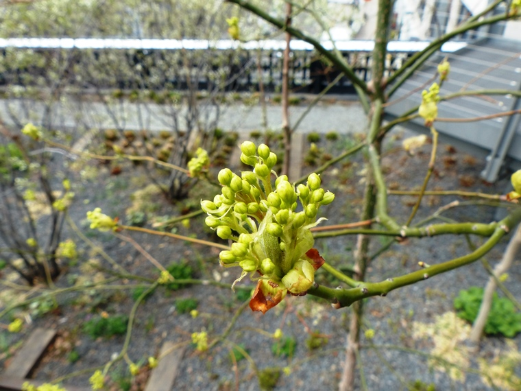 Sassafras flower buds about to pop
