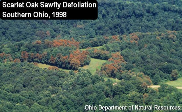 Scarlet Oak Sawfly