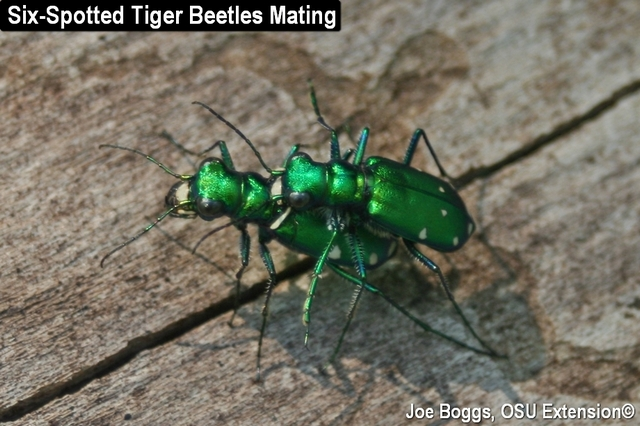 Six-Spotted Tiger Beetles