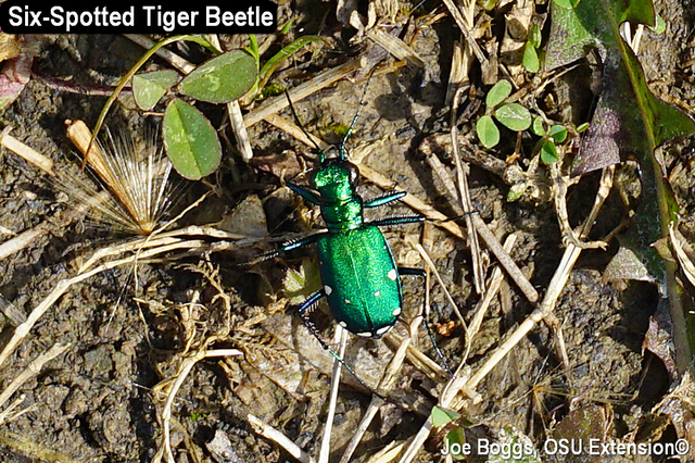 ​​Six-Spotted Tiger Beetle